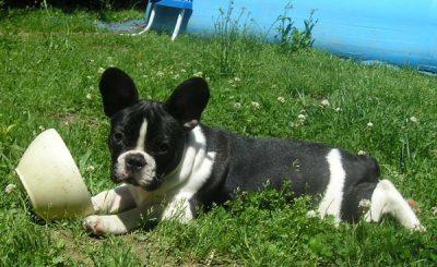 Benji couché dans le jardin